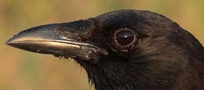 Sono un corvo, son mica scemo