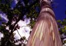 L'albero più colorato della terra