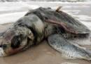 La morte delle tartarughe: è stato il petrolio?