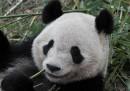 I panda giganti del Sichuan