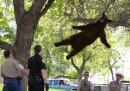 La foto dell'orso a Boulder