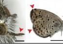 Le farfalle mutanti di Fukushima