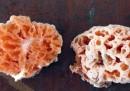 Spongiforma squarepantsii