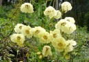 Meconopsis autumnalis