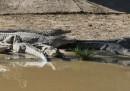 La grande fuga di coccodrilli in Sudafrica