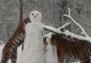Tigri giocano con un pupazzo di neve