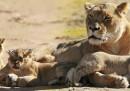 I leoni nati in Australia – foto