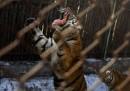 Torino, sbranato dalle tigri: muore custode Parco Martinat Pinerolo