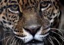 Giaguari e pelli di giaguari