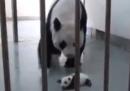 Un panda e sua madre a Taipei – video