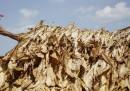 La raccolta del tabacco in Kentucky - foto