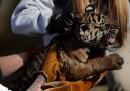 Tigri di Sumatra