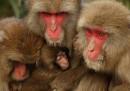 Le foto dei macachi nel freddo giapponese