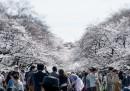 I ciliegi in fiore in Giappone – foto