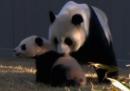 La prima volta all'aria aperta per il panda Bao Bao - video