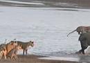 Un elefante (piccolo) riesce a scappare da 14 leoni