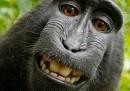La questione del copyright sul selfie della scimmia sta continuando