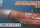 Il video del calamaro gigante che nuota in Giappone