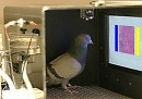 I piccioni sono ottimi radiologi
