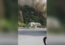 I video della tigre fuggita da un circo a Monreale, in Sicilia