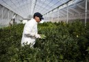 Israele vuole depenalizzare l'uso della marijuana a scopo ricreativo