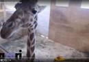 Migliaia di persone stanno aspettando che questa giraffa partorisca
