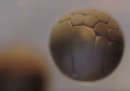 Questo video dal vero di una cellula che si divide è la migliore lezione di biologia possibile
