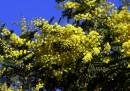 Perché si regala la mimosa per la Festa della donna