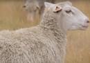 Le pecore mutanti potrebbero insegnarci delle cose sui capelli