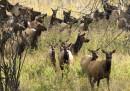 Le femmine di cervo reale imparano a nascondersi dai cacciatori, invecchiando