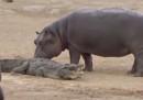 Un giovane ippopotamo s'è scelto un coccodrillo come compagno di giochi