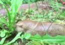 Questo è un timelapse di una lumaca che mangia, e basta