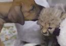 Anche i cuccioli di ghepardo hanno bisogno della pet therapy