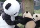 C'è gente che di mestiere fa il panda