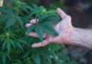 La Camera ha approvato un disegno di legge sulla coltivazione e l'uso medico della cannabis, che ora passa all'esame del Senato