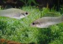 C'è una specie di pesci che non ha (quasi) bisogno dei maschi