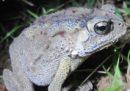 Il Madagascar ha un grave problema di rospi