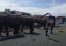 In Spagna un'autostrada è rimasta chiusa per due ore a causa di quattro elefanti