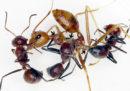 Queste formiche si fanno esplodere per salvare le loro compagne