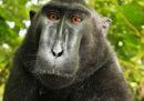 L'ultima puntata (forse) della storia del selfie del macaco