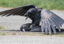 A volte i corvi fanno sesso con i morti