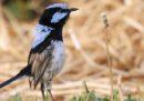 Gli uccelli possono imparare le lingue di altri uccelli?
