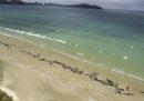 Più di 145 cetacei sono stati trovati spiaggiati in Nuova Zelanda