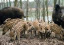 La Polonia vuole uccidere quasi tutti i suoi cinghiali