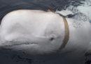 Il mistero del beluga con l'imbracatura, in Norvegia