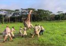Come si soccorre una giraffa (spoiler: facendola inciampare)