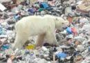 Un orso polare affamato finito in città