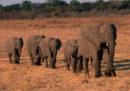 Negli ultimi due mesi in Zimbabwe almeno 55 elefanti sono morti a causa della siccità