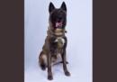 La foto del cane ferito nell'operazione contro Baghdadi
