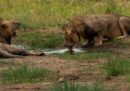 Possono convivere uomini e leoni?